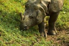 Nepal, het Nationale Park van Chitwan Rhinio stock afbeelding