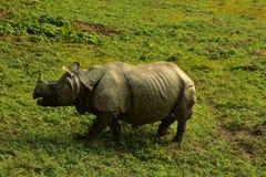 Nepal, het Nationale Park van Chitwan Rhinio royalty-vrije stock foto