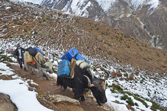 Nepal, Himalayas, october, 20, 2013. Drover yaks in mountains Stock Photography