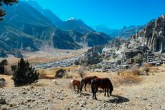Nepal - Horses gazing on the meadow stock images
