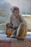 Nepal, Kathmandu, Affe mit Jungem, Junges säugt Lizenzfreies Stockfoto