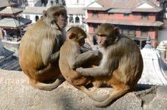 Nepal, Katmandu, apen op de achtergrond van de tempel complex van Pashupatinath stock foto