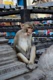 Nepal Monkey Deep Thought. Monkey deep in thought at Monkey Temple in Kathmandu, Nepal. Swayambhunath Stupa. Contemplative, pensive, meditative stock photography