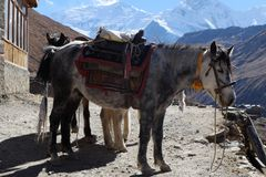 The Nepal mountain horse is high in the mountains. Under the saddle and in the bridle Royalty Free Stock Image
