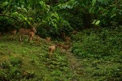 Nepal, parque nacional de Chitwan Manada de ciervos imagen de archivo libre de regalías