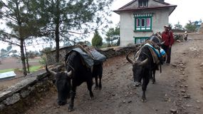 Nepal, some Buffalo on the road. stock image