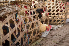 Nepalese chicken in wooden cages Royalty Free Stock Image
