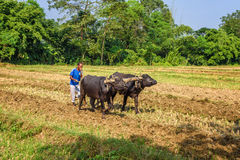 Nepalese farmer plowing agricultural field Royalty Free Stock Photo