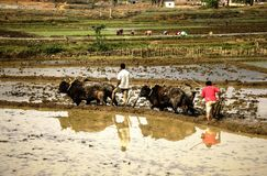 Nepalese farmers cultivate the field on oxen Stock Images