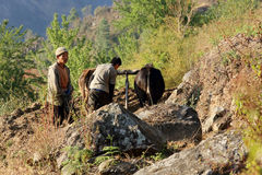 Nepalese farmers plowing his field with two yak. Everest region, Stock Photos