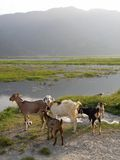 Nepalese goats Stock Image