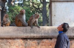 Nepalese guy and family of monkeys Stock Images