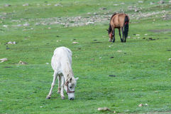 Nepalese horses graze at uphill pasture near the nomad camp Royalty Free Stock Images