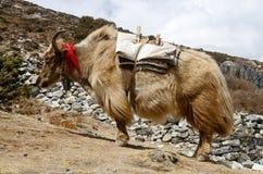 Nepalese langharige jakken, de bergen van Himalayagebergte royalty-vrije stock foto's
