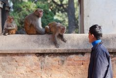 Nepalese man and family of monkeys Stock Photos