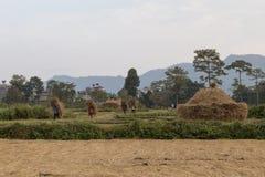 Nepalese peasants harvesting field in Pokhara, Nepal Royalty Free Stock Photos