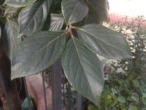 Nepalese Plum Leaf ist Spezies der blühender Pflanze lizenzfreies stockfoto