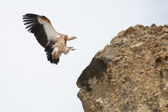 Nepalese Vulture Royalty Free Stock Photos
