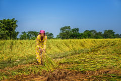 Nepalese woman working in a rice field Royalty Free Stock Photo