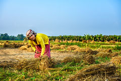 Nepalese woman working in a rice field Royalty Free Stock Photos