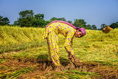 Nepalese woman working in a rice field at sunrise Royalty Free Stock Photo