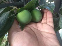 Nepalesische grüne Pflaume ist Spezies der blühender Pflanze lizenzfreie stockfotos