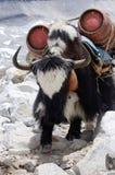 Nepalesische Schwarzweiss-Yak mit zwei Gasflaschen, Himalaja Stockbild