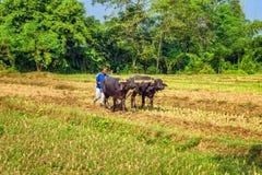 Nepalesischer Landwirt, der landwirtschaftliches Feld pflügt Stockfotos
