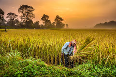 Nepalesischer Mann, der auf einem Reisgebiet bei Sonnenaufgang arbeitet Stockfotografie