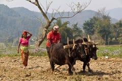 Nepali farmers with buffalos Royalty Free Stock Photos
