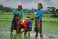 Chitwan Nepal July 20 2020 : Nepali village women  working in the farmland from Chitwan Nepal