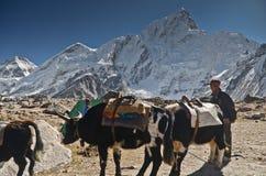 Nepali Yaks stock photography