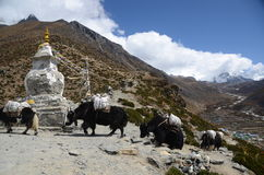 Nepali yaks around a stupa Royalty Free Stock Image