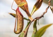 Nepente tazze della scimmia o della pianta carnivora o piante di lanciatore tropicale Fotografia Stock