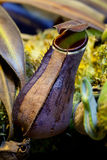 Nepenthe #1. Carnivorous plant Nepenthes family, with beautifully educated pitcher Stock Photography