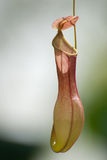 Nepenthe Immagine Stock Libera da Diritti