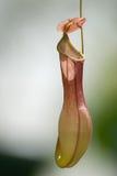 Nepenthe Στοκ εικόνα με δικαίωμα ελεύθερης χρήσης