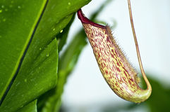 Nepenthe tropical carnivore plant Royalty Free Stock Photography