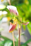 Nepenthe tropical carnivore plant Royalty Free Stock Image