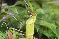 Nepenthe tropical carnivore plant Stock Photography