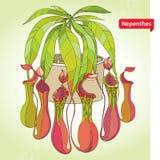Nepenthes ή πίθηκος-φλυτζάνι στρογγυλό flowerpot στο ανοικτό πράσινο υπόβαθρο Διευκρινισμένη σειρά σαρκοφάγων εγκαταστάσεων Στοκ εικόνα με δικαίωμα ελεύθερης χρήσης