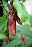 Nepenthes; заводы тропического кувшина или чашки обезьяны Стоковые Фото