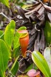 Nepenthes, заводы Picher, плотоядные заводы стоковое фото rf