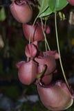 Nepenthes, чашки обезьяны Стоковые Фото