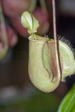 Nepenthes, чашки обезьяны стоковое изображение