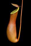 Nepenthes. The Nepenthes on dark background image Stock Image
