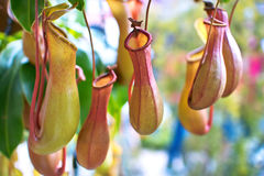Nepenthes Immagine Stock
