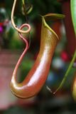 Nepenthes stock afbeelding