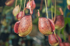 Nepenthes. Close up of nepenthes on plant Royalty Free Stock Image