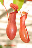 Nepenthes Immagini Stock